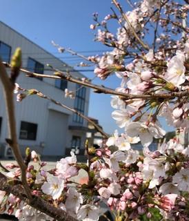 社屋と桜.jpg